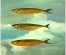 Vliegende vissen